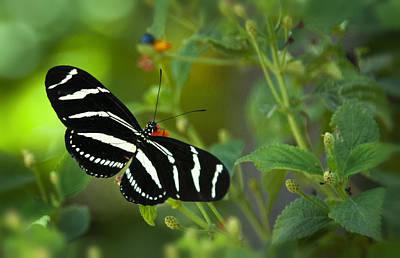 A Zebra Longwing Butterfly  Print by Saija  Lehtonen