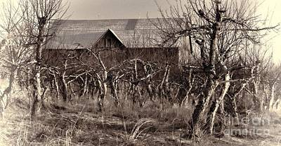Wild Orchards Photograph - Abandoned Apple Orchard by Henry Kowalski