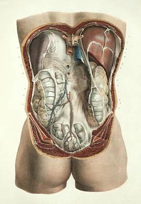 Abdominal Anatomy Print by Science Photo Library