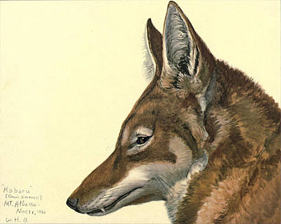 Abyssinian Wolf Print by Louis Agassiz Fuertes