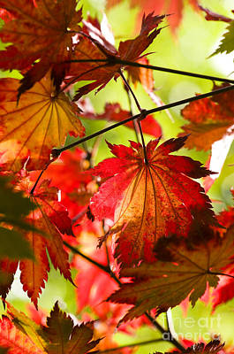 Acer Japonicum O Isami Print by Anne Gilbert