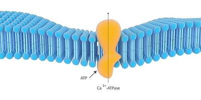 Active Membrane Transport Print by Science Photo Library