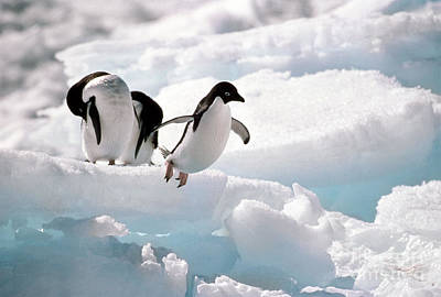 Adelie Penguins Print by Art Wolfe