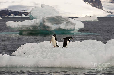 Antartica Photograph - Adelie Penguins On Ice by John Shaw