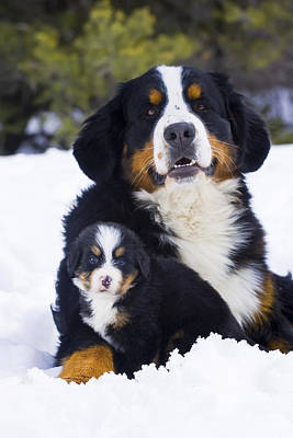 Bernese Mountain Dog Photograph - Adult And Puppy Bernese Mountain Dog by Michael DeYoung