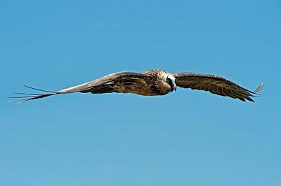 Adult Bearded Vulture In Flight Print by Tony Camacho