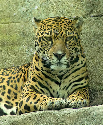 an overview of the feline species jaguar The environmental news network mongabay recently published a list of the five most endangered wild cat species they are: the tiger (panthera tigris): 2,154-3,159 mature individuals in the.
