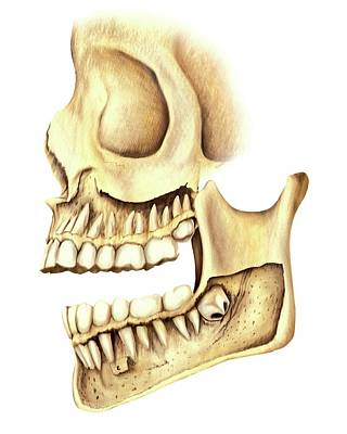 Mental Photograph - Adult Teeth by Asklepios Medical Atlas