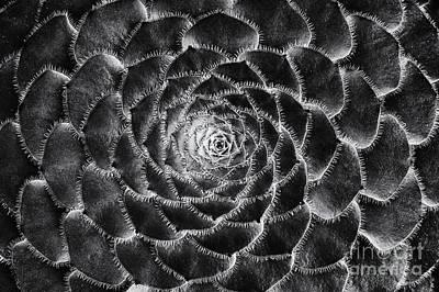 Aeonium Monochrome Print by Tim Gainey
