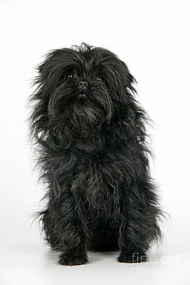 Affenpinscher Photograph - Affenpinscher Dog by John Daniels