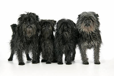 Affenpinscher Photograph - Affenpinscher Dogs by John Daniels