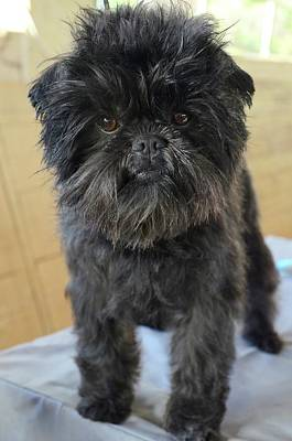 Affenpinscher Photograph - Affenpinscher by Photostock-israel
