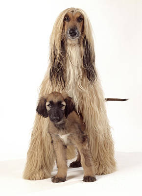 Afghan Hound And Puppy Print by John Daniels