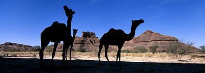 Camel Photograph - Africa, Chad, Ennedi Massif, Camels � by Tips Images