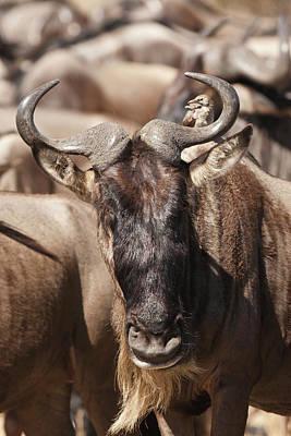 White Beard Photograph - Africa, Kenya, Masai Mara Gr, Lower by Joe and Mary Ann Mcdonald