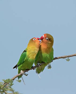 Lovebird Photograph - Africa, Tanzania, Serengeti by Charles Sleicher