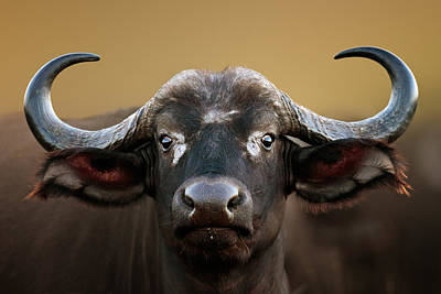 Close Up Photograph - African Buffalo Cow Portrait by Johan Swanepoel