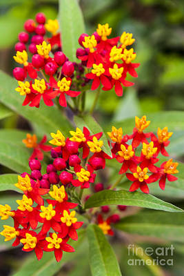 African Butterfly Weed Print by Scotts Scapes