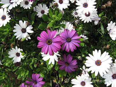 Purple Flowers Photograph - African Daisy In Laguna Niguel California by Conni Schaftenaar