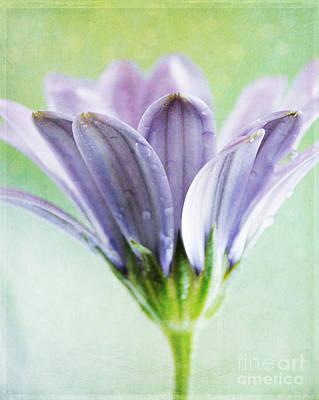 Osteospermum Photograph - African Daisy by Sylvia Cook