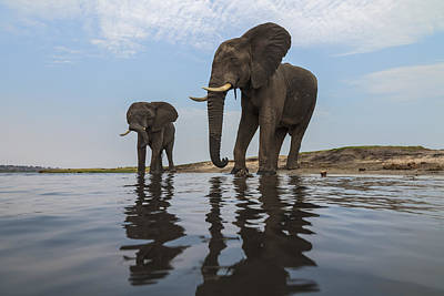Photograph - African Elephant Bulls Along Chobe by Vincent Grafhorst