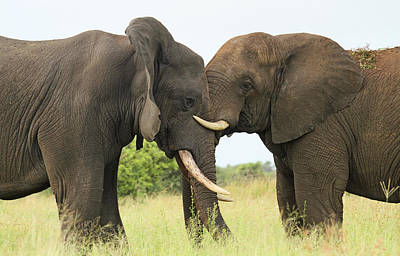 African Elephant Bulls Play-fighting Print by Perry de Graaf