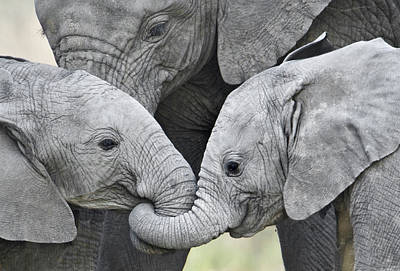 Elephant Photograph - African Elephant Calves Loxodonta by Panoramic Images