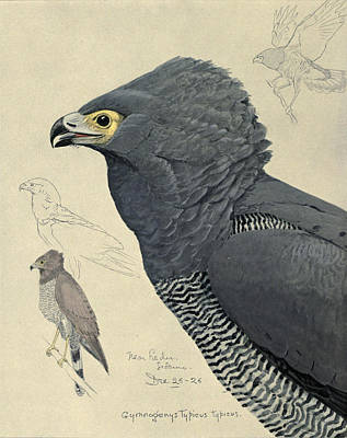 African Harrier-hawk Print by Louis Agassiz Fuertes