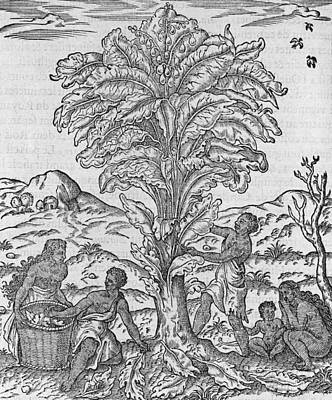 Family Gathering Photograph - African Herbal Tree, 16th Century by Science Photo Library