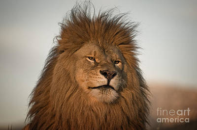 Lion Photograph - African Lion-animals-image by Wildlife Fine Art