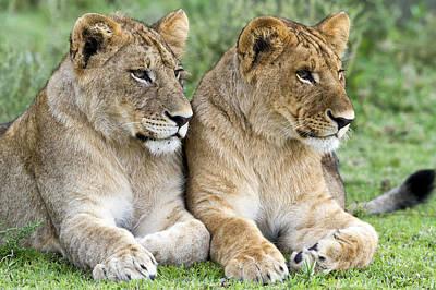 Photograph - African Lion Juveniles Serengeti Np by Erik Joosten