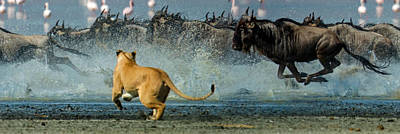 Of Felines Photograph - African Lioness Panthera Leo Hunting by Panoramic Images