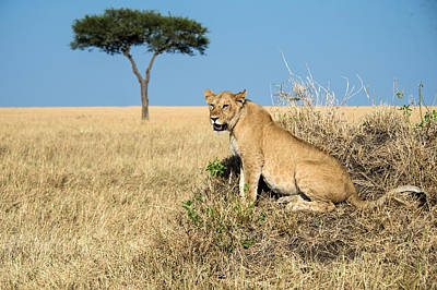 Leo Photograph - African Lioness Panthera Leo, Serengeti by Panoramic Images