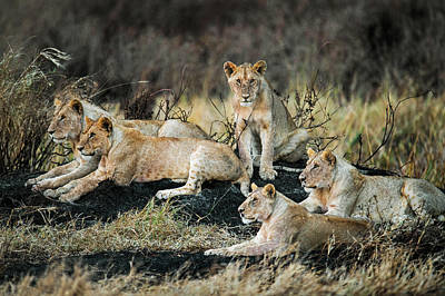 Leo Photograph - African Lions Panthera Leo In Forest by Panoramic Images