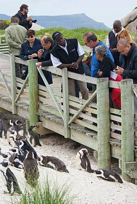 African Penguin Colony Print by Mark Williamson