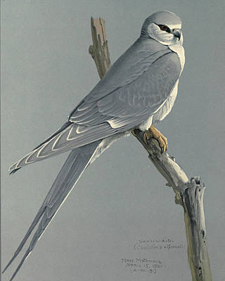 African Snow Tailed Kite Print by Louis Agassiz Fuertes