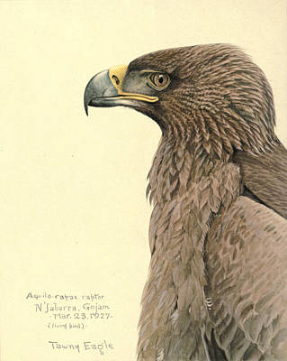 African Tawny Eagle Print by Louis Agassiz Fuertes