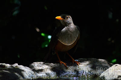 Stone Trough Photograph - African Thrush by Morris Keyonzo