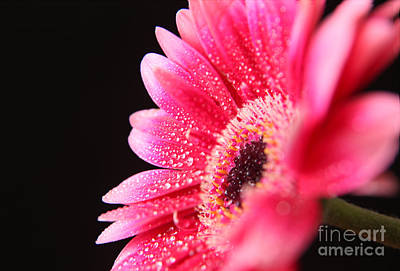 Gerber Daisy Photograph - After The Rain by Eden Baed