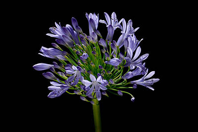 Agapanthus Photograph - Agapanthus-0001 by Russ Greene