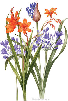 Crocosmia Painting - Agapanthus And Crocosmia by Sally Crosthwaite