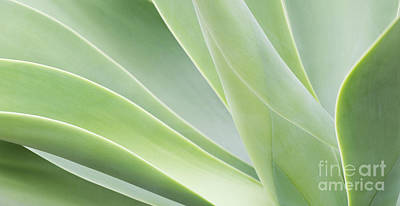 Agave Attenuata Print by Tim Gainey