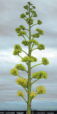 Grey Clouds Photograph - Agave Flower Spike by Ben and Raisa Gertsberg