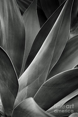 Agave In Black And White Print by Charmian Vistaunet