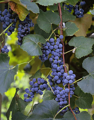 Agriculture - Concord Tablejuice Grapes Print by Gary Holscher