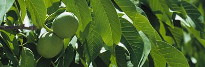 Walnut Tree Photograph - Agriculture - Maturing Walnuts by Randy Vaughn-Dotta