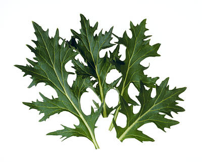 Agriculture - Mizuna Leaves Closeup Print by Ed Young