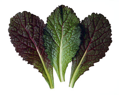 Agriculture - Red Mustard Leaves Print by Ed Young