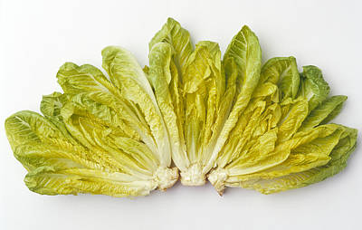 Romaine Photograph - Agriculture - Romaine Lettuce Hearts by Ed Young
