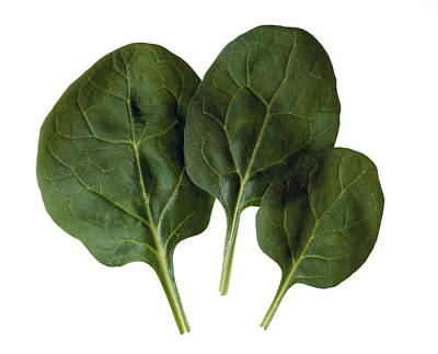 Agriculture - Spinach Leaves Closeup Print by Ed Young